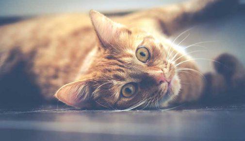 Paarungsverhalten-rollige Katze