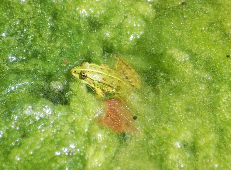 Algen Im Teich Bekämpfen