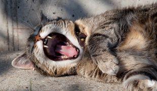 Zahngesundheit von Katzen: Zahnerkrankungen bei Katzen vorbeugen