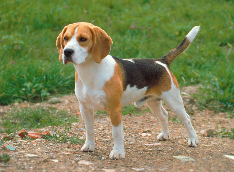 Beagle Hund Rasseportrait Im Hunde Magazin Zooroyal Magazin