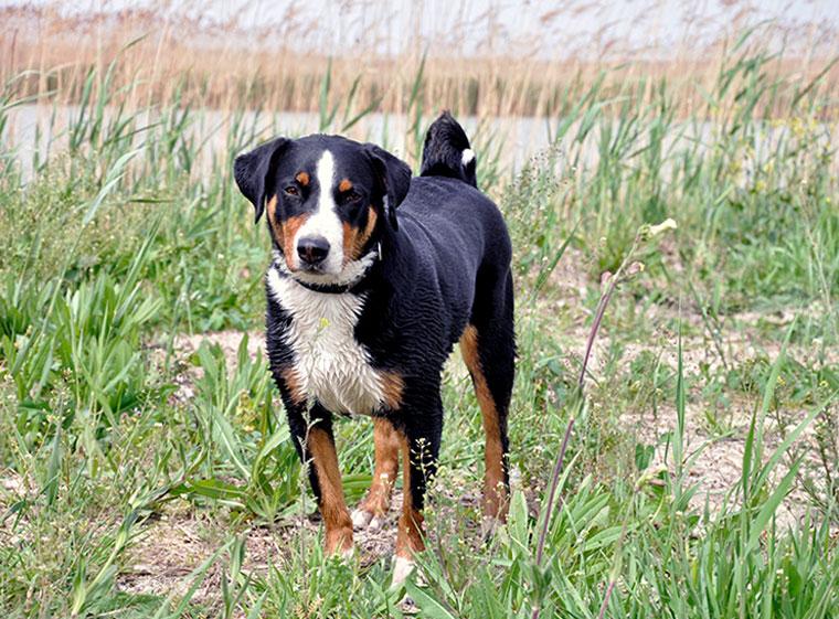 Appenzeller Sennenhund Im Rasseportrait Zooroyal Magazin