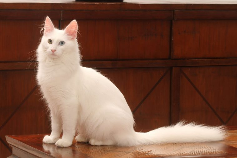 Türkisch Angora Katze