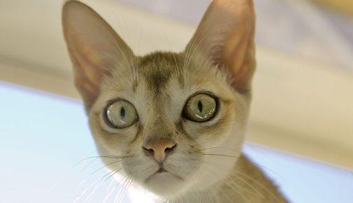 Burma Katze Kaufen