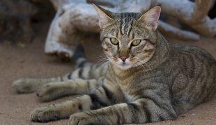 Falbkatze: Afrikanische Wildkatze