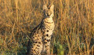 Serval: afrikanische Wildkatze