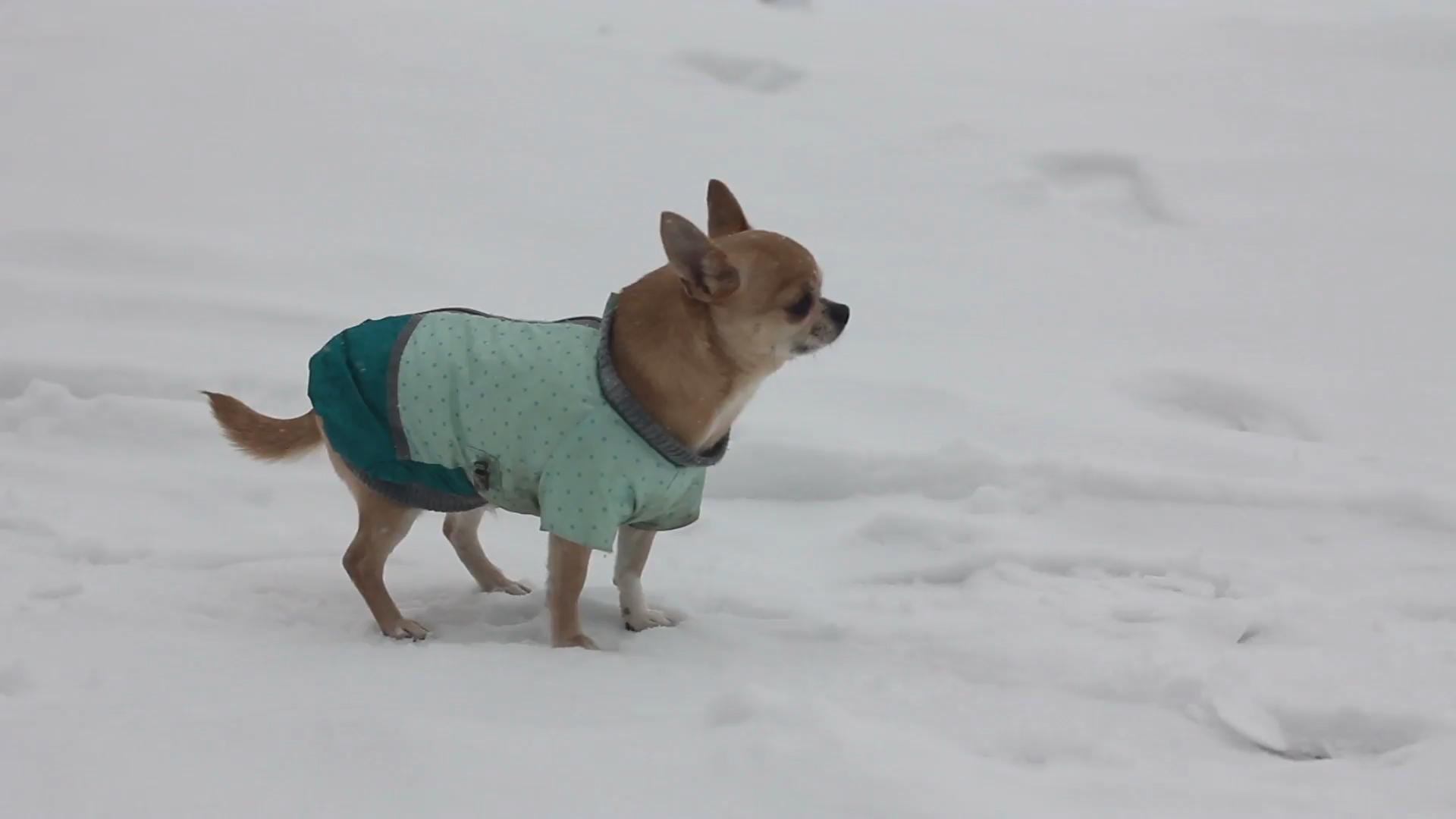 Braucht chihuahua mantel