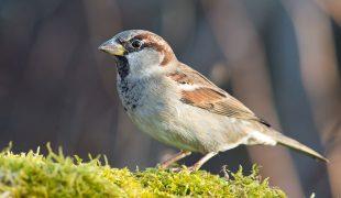 Stunde der Wintervögel: Haussperling