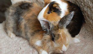 Kaninchen und Meeri