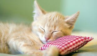 Katze mit Baldriankissen