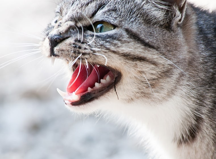 Katzenjammer Wenn Die Katze Extrem Viel Miaut Zooroyal Magazin