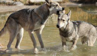 Saarloos Wolfhund im Portrait