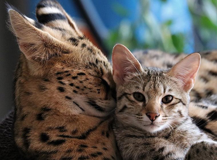 Faszination Savannah Katze Zooroyal Magazin