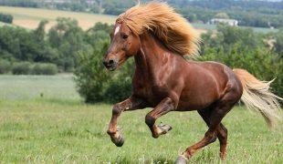 Island Pony