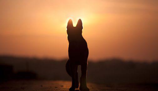 Hund im Sonnenuntergang