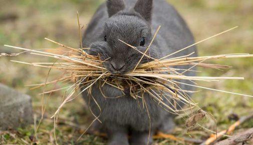 Kastration Kaninchen