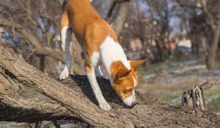 Käferspürhund