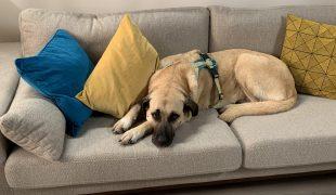 Hund entspannt auf dem Sofa