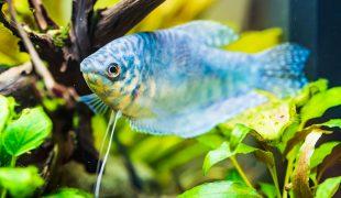 Blauer Fadenfisch