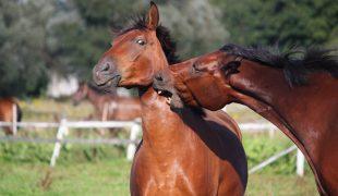 Pferd beißt