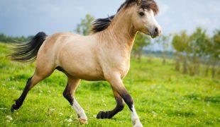Welsh Pony